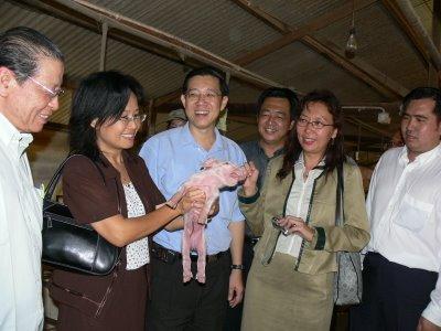 DAP for pigs